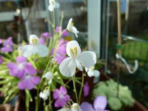 "Photo: Utricularia nephrophylla ""white"""
