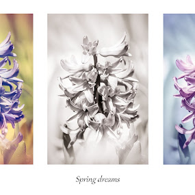 Spring dreams by Florin Gorgan - Nature Up Close Flowers - 2011-2013 ( nature, colorful, colors, variation, collage, romania, hyacinth, flowers, spring, flower )