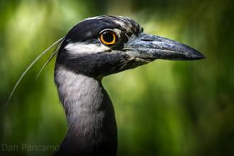 Photo: Yellow-crowned night heron