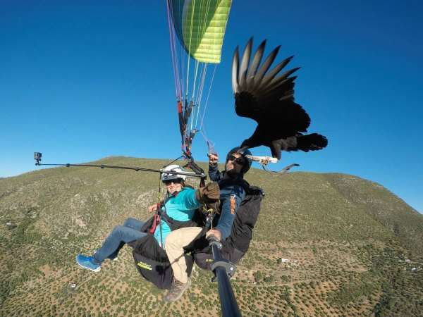 Fly with Edmund or Baldric, the two American Black vultures, tandem experience now available at FlySpain