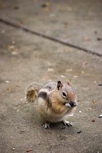 Photo: Golden Mantled Ground Squirrel