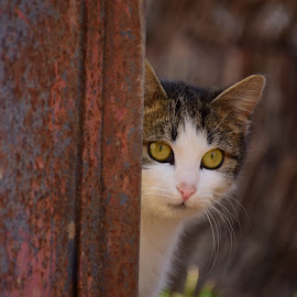Caution of the curious kitty cat by Magda Creosteanu - Animals - Cats Portraits ( protection, picking, behind the gate safety, safe, cat, curious, behind the gate, caution, curiosity, shy, yellow eyes, kitty, timid )