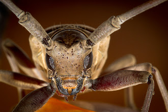 Photo: Longicorn Beetle Macro