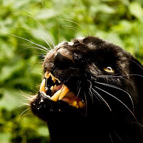 by William Bentley Jr. - Animals - Cats Portraits