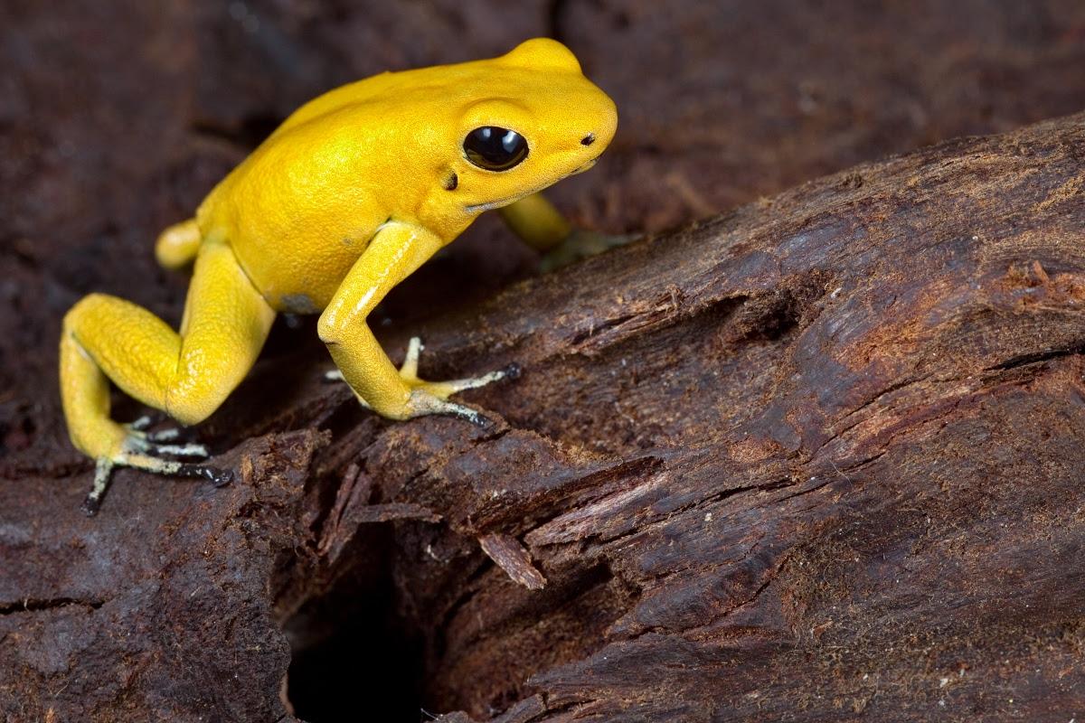 The Golden poison frog, Phyllobates terribilis - Dirk Ercken — Google Arts  & Culture
