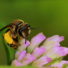 Bee by Michel Lapensée - Animals Insects & Spiders ( nature, bee, insect, flower )