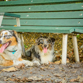under the beach by Meaghan Browning - Animals - Dogs Playing ( dogs, park, beach, australian shepherd, aussie )