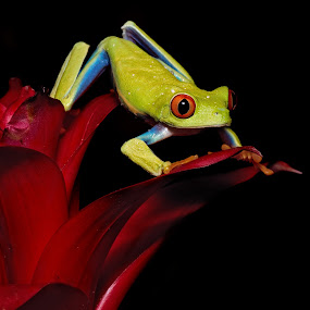 Red-eyed Tree Frog on the move by Jen St. Louis - Animals Amphibians ( frog, captive, amphibian, agalychnis callidryas, red-eyed tree frog )