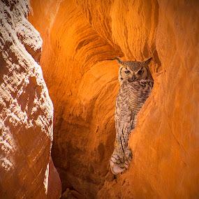 Arizona Great Horned Owl by Chris Bartell - Animals Birds ( page, arizona, owl, arizona rock, owl canyon, great horned owl,  )