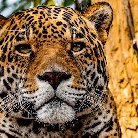 Plushy by John M. Larson - Animals Lions, Tigers & Big Cats ( unamused, leopard, predator, cat, spots, golden, yellow, animal, angle, plushy, wild animal, furry )