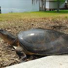 Florida softshell turtle?