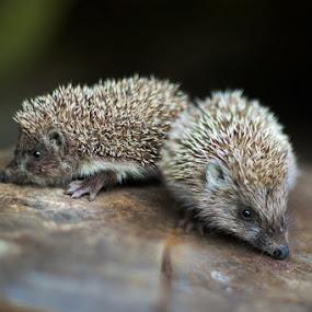 by Anna Trandeva - Animals Other Mammals ( 2, hedgehogs )