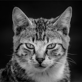 by Chris Rossouw - Animals - Cats Portraits