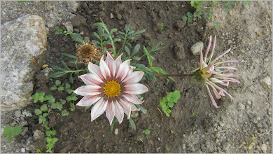 Photo: Floarea comoară, Gazania-margaretă (Gazania spp) - din Turda, Str. Salinelor, Nr.15 - 2019.06.20