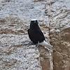 White-crowned Black Wheatear