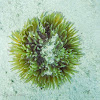 malu anemone