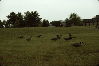 Photo: 16 Canada Geese