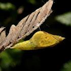 Eurema pupa