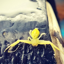 Yellow orb spider