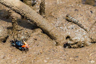 Photo: [RO] Vecini intre mangrove: crabul violonist zis si Uca Tetragonon si pestele care umbla zis si Periophthalmus  [EN] Mangroves neighbors: the fiddler crab and the mudskipper  #hqspanimals +115459135731271475295 curated by +117634467777014768099 +113700935647920525743 +100894839987772923351
