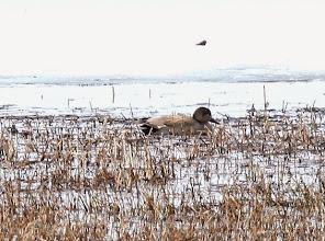 Photo: Kuva-14a, harmaasorsa +1kv koiras (toukokuu) kuvaja Toivo Säkkinen