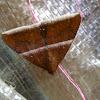 Erebid Moth