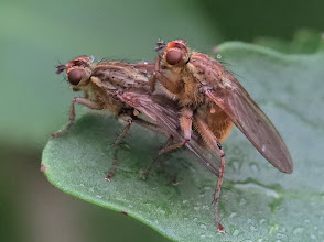 Photo: Yellow Dung Fly (Scathophaga stercoraria) mating