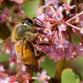 Bee by Photoxor AU - Animals Insects & Spiders ( macro, bee, colorful, flower, animal,  )