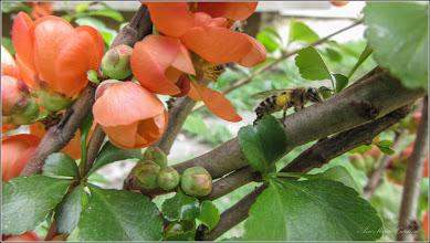 Photo: Gutui Japonez (Chaenomeles japonica)  - din Turda, Calea Victoriei, Nr. 17, 19, spatiu verde - 2019.04.09