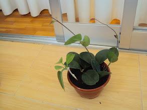 Photo: Hoya australis