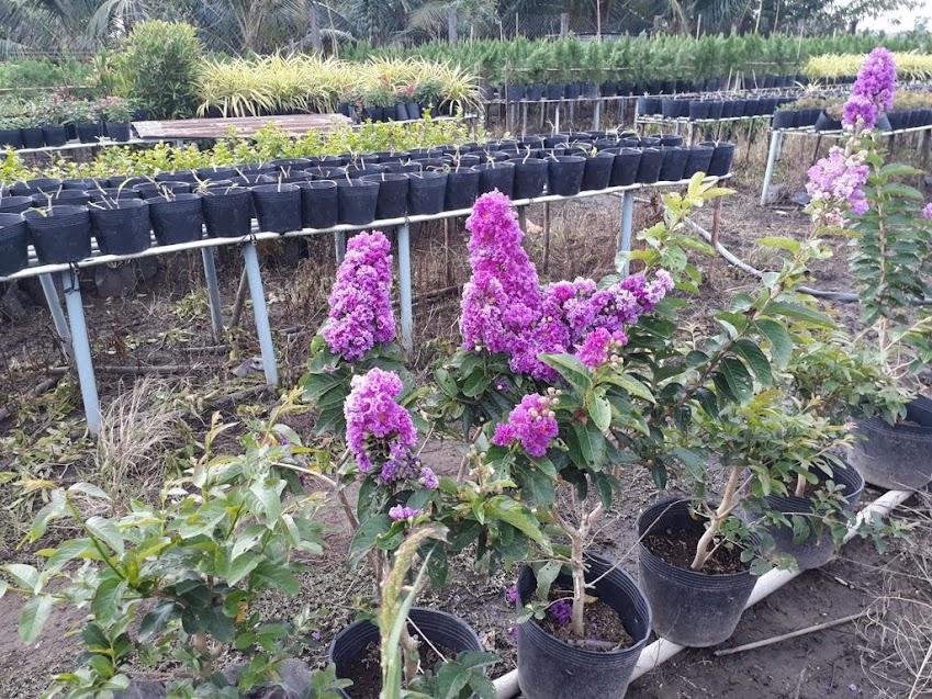 Những chậu bằng lăng tím Thái Lan này chỉ cao khoảng 90cm đã cho hoa đều đặn