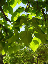 Photo: Hojas de catalpa