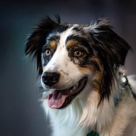 by Aleksander Cierpisz - Animals - Dogs Portraits