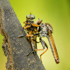 Love Cannibalism by Irfan Marindra - Animals Insects & Spiders ( macro, robberfly )