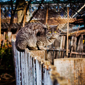 Hypnotizing Look by Eduard Moise - Animals - Cats Portraits ( look, kitten, cat, wooden, village, wallpaper, grey, green eyes, kitty, domestic, animal )
