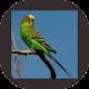 Download Kicau Burung Parkit Super For PC Windows and Mac