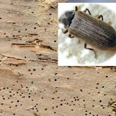 woodworm treatment service