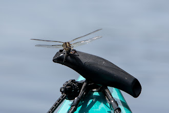 Photo: a dragonfly didn't pose very well