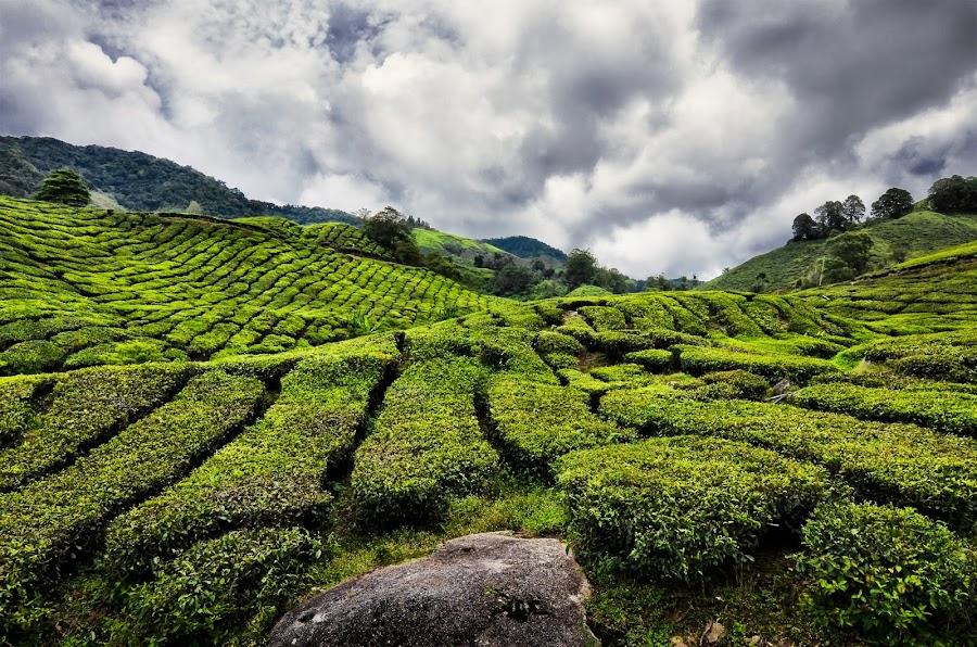 Green Tea Garden by Tan KM - Landscapes Mountains & Hills ( green tea, landscape )