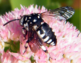 """Photo: THYREUS HISTRIONICUS - Hyménoptère - abeille coucou. Sur sédum spectabile - septembre 2014. Je ne sais pas si elle possède un nom vernaculaire, """"abeille coucou"""" est le nom général de nombreuses espèces de ces hyménoptères.Je vous en proposerais d'autres..."""