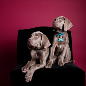 Weimaraner puppies in red and black by Jen St. Louis - Animals - Dogs Puppies ( studio, puppy, dogs, weimaraner puppies, portrait, weimaraner, puppies,  )