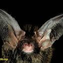 Formosan long-eared bat