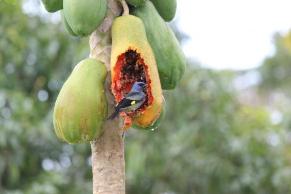Photo: Papaya and Bird Photo