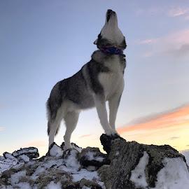 Ronja by Bjarklind Þór - Animals - Dogs Portraits ( howling )