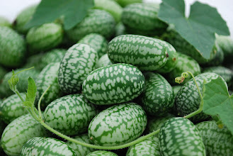 Photo: Mexican Sour Gherkin cucumber. Photo credit Log House Plants