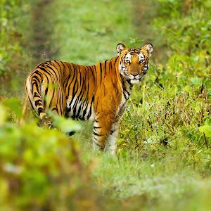 Tiger 21.jpg