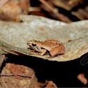 Javan Chorus Frog