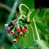 Redflower Ragleaf
