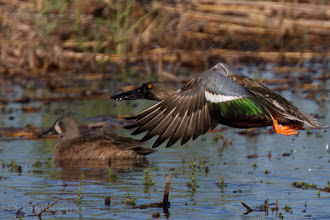 Photo: Blue-winged Teal