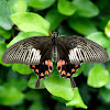 Common Mormon ♀